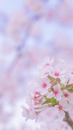 粉色樱花唯美春日手机壁纸