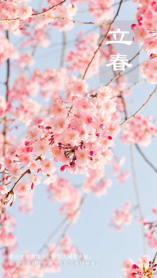 立春櫻花精美手機海報